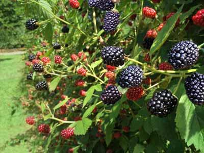 2015Blackberries