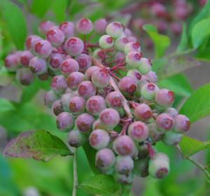 New berries
