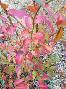 Fall blueberry plant