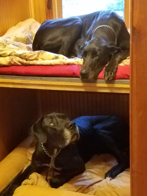 LilBit and Diesel's new doggie bunk beds